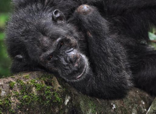 Uganda hosts vital primate conservation event.