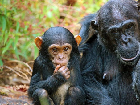 MBALI MBALI SHARE THEIR ADVICE ON CHIMP TREKKING IN TANZANIA