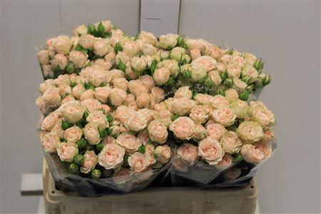 Rosa Santa Teresinha