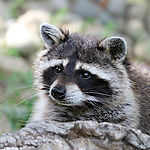 raccoon-1476504_1920.jpg