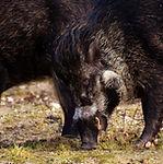 wild-boars-3044144_1920.jpg
