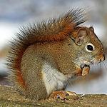 red-squirrel-570936_1920.jpg
