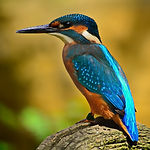 kingfisher-1905255_1920.jpg