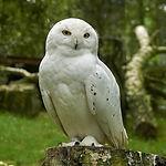 snowy-owl-3458442_1920.jpg