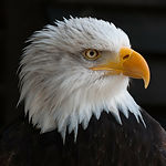 bald-eagles-341898_1920.jpg