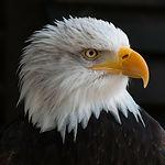 bald-eagles-341898_1920.jpg