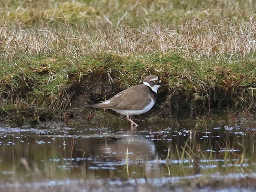 Little Ringed Plover - Scatness