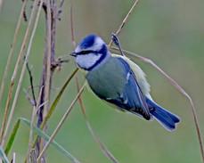 Blue Tit - Quendale