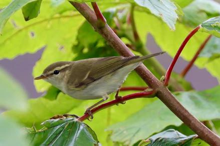 Greenish Warbler - Sumburgh