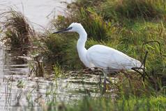 Little Egret - Tingwall