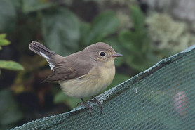 Red-breasted Flycatcher - Sumburgh
