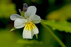 Field Pansy - South Mainland