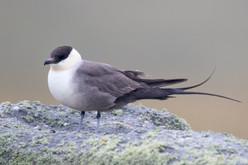 Long-tailed Skua - Dalsetter