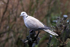 Collared Dove - Scalloway