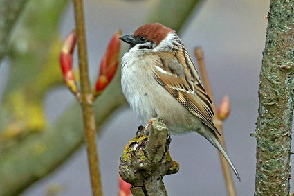 Tree Sparrow -Baltasound