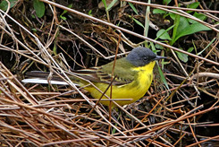 Western Yellow Wagtail (thunbergi) - Hoswick