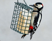 Great Spotted Woodpecker - Whiteness
