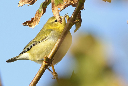 Tennessee Warbler - Burravoe, Yell