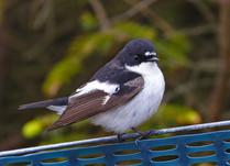 Pied Flycatcher - Whalsay