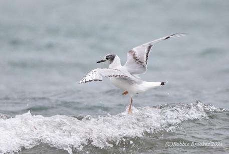 Bonaparte's Gull - Norwick