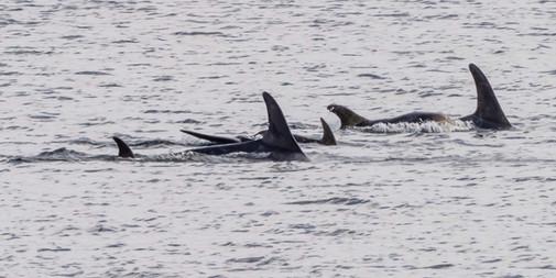 Risso's Dolphin - Fetlar