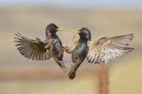 Common Starling - Voe