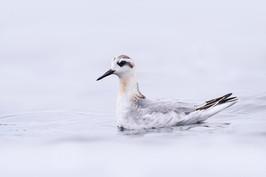 Grey Phalarope - Balta Isle, Unst
