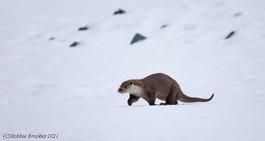 Otter - Unst
