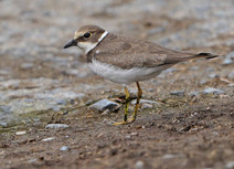 Little Ringed Plover - Quendale