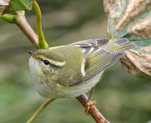 Yellow-browed Warbler - Whalsay