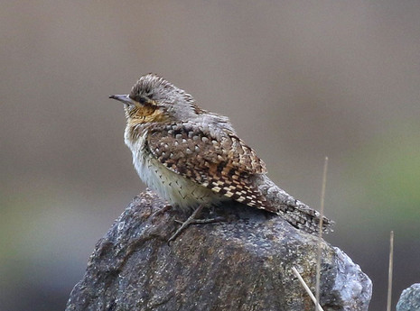 Wryneck - Whalsay