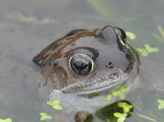 Common Frog - Scalloway