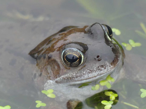 Common Frog - Scalloway