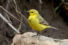 Western Yellow Wagtail (flavissima) - Hoswick