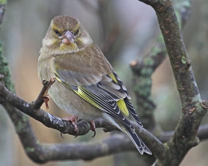 Greenfinch - Brae