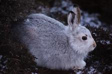Arctic Hare - Walls