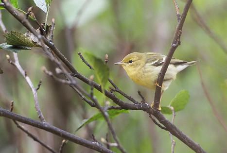 Blackpoll Warbler - East Burrafirth