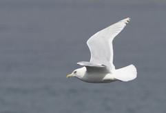 Kumlien's Iceland Gull - Lerwick