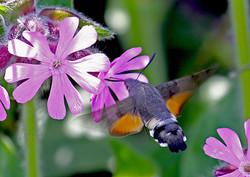 Hummingbird Hawkmoth - Skaw, Whalsay