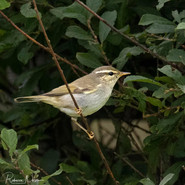 Arctic Warbler - Dunrossness