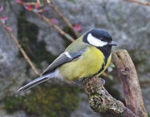 Great Tit - Whalsay