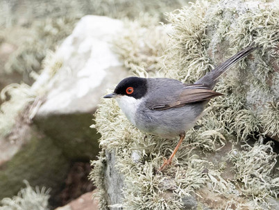 Sardinian Warbler - Sumburgh