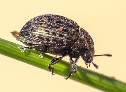 Pill Beetle - West Sandwick