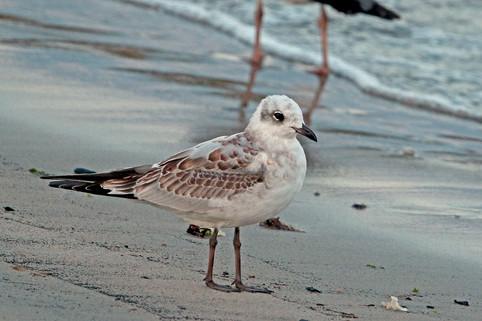 Mediterranean Gull - Cunningsburgh