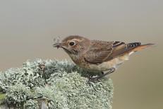 Whinchat x Common Redstart, Grutness