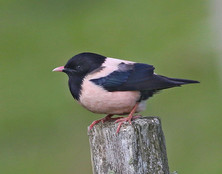 Rose-coloured Starling - Challister