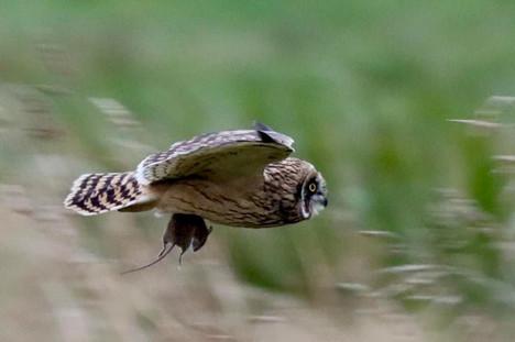 Short-eared Owl - Dunrossness