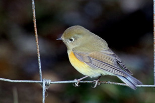 Red-flanked Bluetail - Sandwick