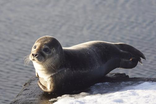 Common Seal - Baltasound