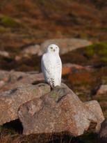 Snowy Owl - Ronas Hill
